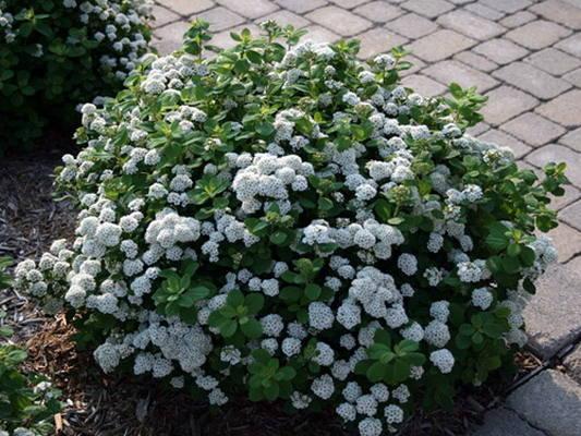 Спирея березолистная Тор, цена, Spiraea betulifolia Tor купить Киев, уход, посадка, описание, фото.